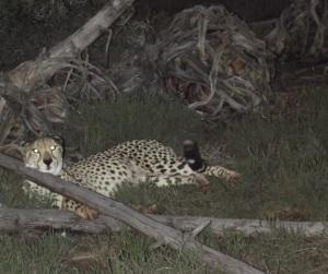 Low-res Samara cheetah