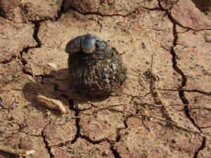 Low-res Samara dung beetle