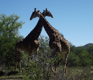 Low-res Samara giraffes